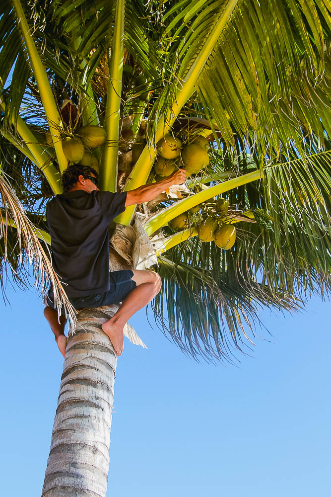 coconut harvesting on Goffs Caye