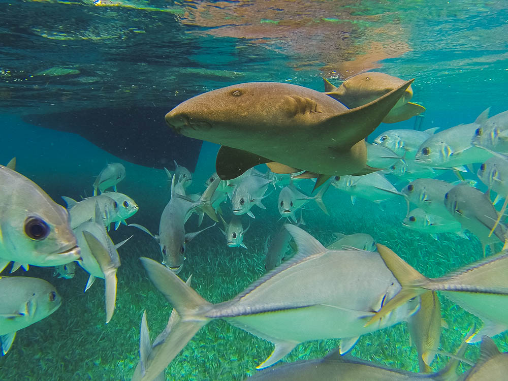 the view from below... getting to know the local Nurse Sharks